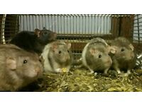 Young Adult Male Rats