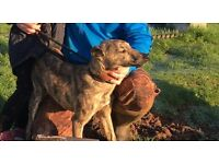 Lurcher (dog,pup,)