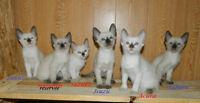 5 BB SIAMOIS , 3 mâles et 2 femelles