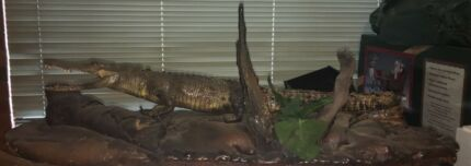 A large taxidermy full body saltwater crocodile mounted on a faux