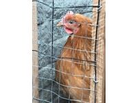 BARGAIN!! 6 ISA BROWN CHICKENS 4 £50!!
