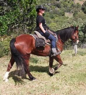 PERCHERON'S, PAINTS, QUARTER HORSES, REG, HORSEMANSHIP TRAINED Maryborough Fraser Coast Preview