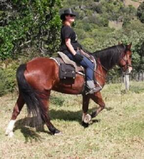 PERCHERON/QUARTER HORSE MARE, REG, 15.3 HDS, HORSEMANSHIP TRAINED Hervey Bay Region Preview