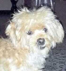 """Adult Female Dog - Maltese-Poodle: """"Coco (Channel) local"""""""
