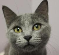 """Young Female Cat - Domestic Short Hair: """"Meara"""""""