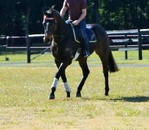 Quality  Temperament Trainability Jilliby Wyong Area Preview