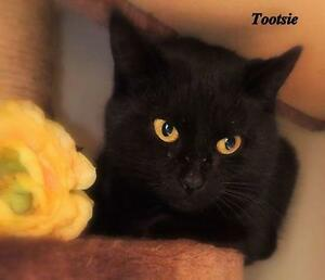 "Young Female Cat - Domestic Short Hair: ""Tootsie 16-2 (PN 53)"""