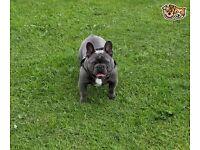 Kc reg blue pied French bulldog blue eyes