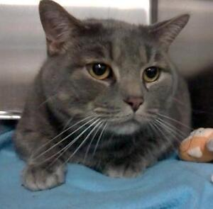 """Adult Male Cat - Domestic Short Hair: """"Le gros"""""""