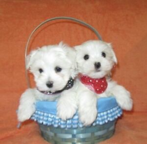 Maltese Adopt Dogs Puppies Locally In Toronto Gta Kijiji