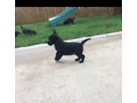 Westie Jack Russell Cross Pups