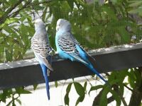 Male/Female Budgies for sale with cage