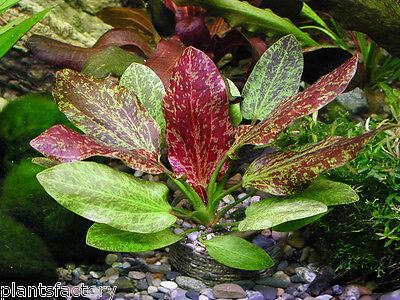 Echinodorus 'Red Flame' RARE Amazon Sword Live Aquarium Plants Moss ADA Fish