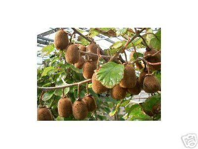 4 x Sibirische Mini-Kiwi Pflanzen SET Sommerkiwi winterhart Actinidia kolomikta