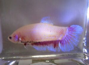 Giant Halfmoon Plakat Bettas (Males & Females) North Shore Greater Vancouver Area image 9