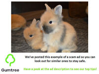 Lion Head Rabbits -- Read the ad before replying!!!