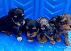 Yokrie Poo puppies for sale