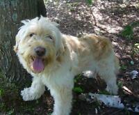 "Adult Male Dog - Wheaten Terrier: ""Tyson"""