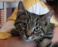 "Baby Male Cat - Domestic Short Hair: ""Mischief"""