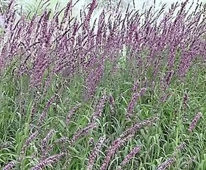 Red ornamental grass lookup beforebuying for Red ornamental grasses perennial