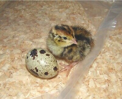 60 Jumbo Brown Coturnix Quail Hatching Eggs Npip