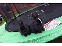 Netherlands dwarf baby rabbit