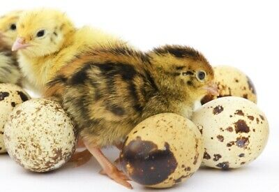 Fertile Coturnix Brown Quail Hatching Eggs Free Shipping 24 Eggs