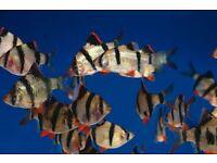 7x Tiger Barbs (medium size) live tropical fish