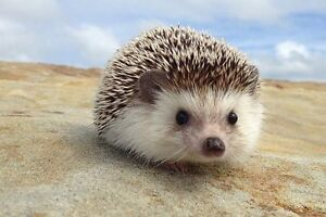 Male Hedgehog and Cage
