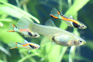 Breeding Endlers