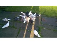 21 Portuguese pigeons for sale!!