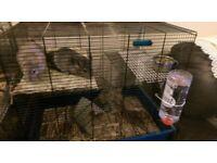 2 Chinchillas (males) plus blue cage and accessories.