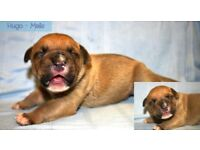 Beautiful American mastiff puppies NOT READY TO LEAVE UNTIL 19TH JAN