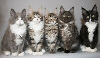 Looking for a Maine Coon Kitten