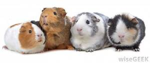 Colourful Young Guinea Pigs Elizabeth East Playford Area Preview