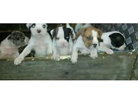 old tyme X blue blood bulldogs