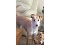 LOST DOG - Trimble, a Saluki Collie Cross