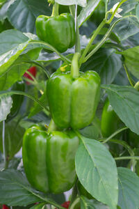 Heirloom/Non-gmo seeds - Don't wait, get your seeds soon! Campbell River Comox Valley Area image 2