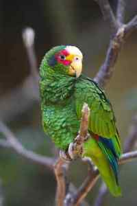 Looking for an Amazon or Cockatoo