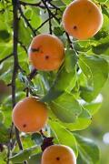 Fruit Tree Seeds