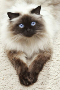 Looking for a Himalayan/ Siamese/ rag doll kitten