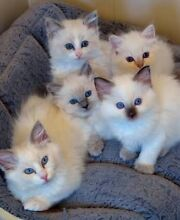 Ragdoll Kittins - must go! Burpengary Caboolture Area Preview