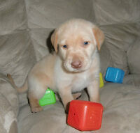 PURE LAB PUPPIES AVAILABLE