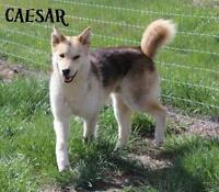 "Adult Male Dog - Husky: ""Caesar"""