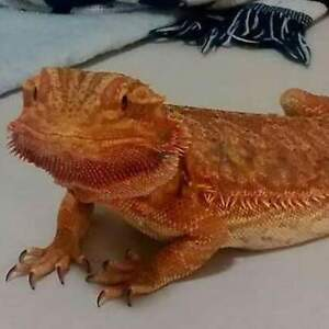 Looking for female bearded dragon