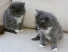 Ragdoll x Russian blue kittens Morayfield Caboolture Area Preview