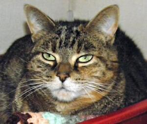 "Adult Female Cat - Domestic Short Hair: ""Franny"""