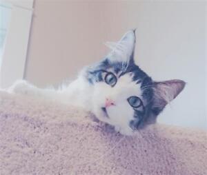 "Young Male Cat - Domestic Long Hair: ""Fenwick"""