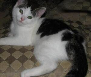 "Baby Female Cat - Domestic Short Hair - gray and white: ""Fe Fe"""