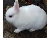 Beautiful baby netherland dwarf blue eyed white
